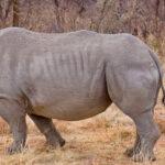 Rhinoceros in Uganda