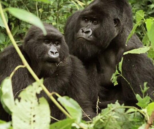 Gorilla Tours in Africa