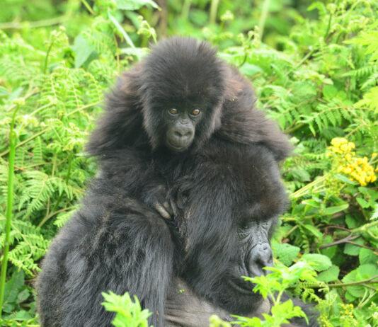 Gorilla trek in Bwindi